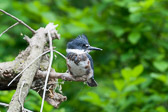 Fledgeling Belted Kingfisher