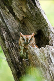 Eastern Screech-Owl, Carpenter's Woods
