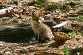 Kit Fox at the Four Mills