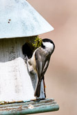Carolina Chickadee at nest